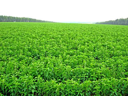 Coltivazione a pieno campo di stevia