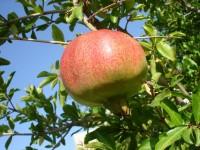 melagrana antiossidante, business