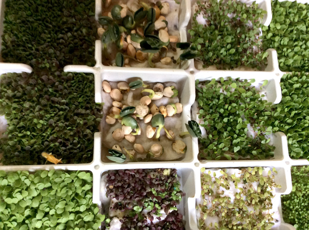 Microgreens Sicilia