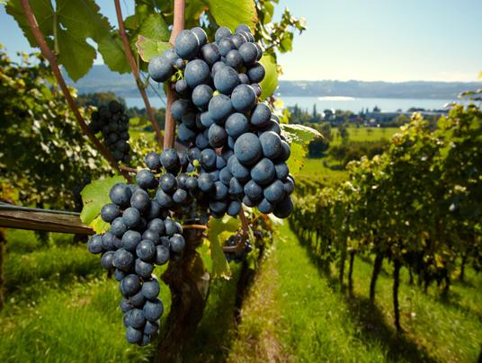 ripe Purple Grapes
