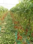 Coltivazione pomodoro a sistema agro omeopatico