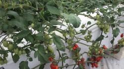 Produzione di Pomodoro su letti a sistema aeroponico