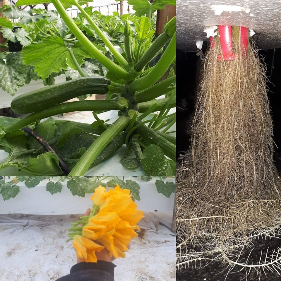 Coltivazione di zucchino in aeroponica
