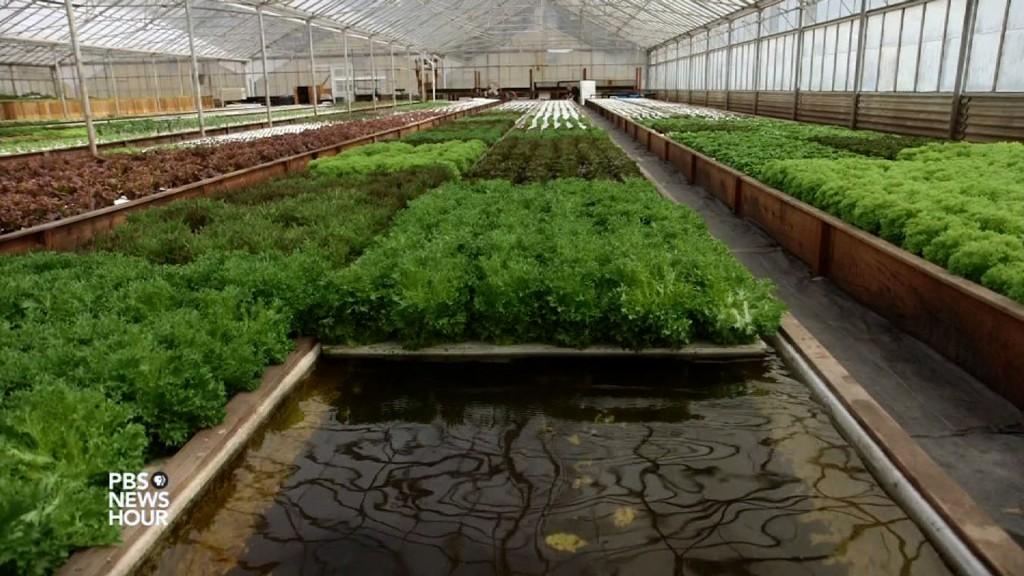 L'acquaponica, un sistema di agricoltura che non utilizza suolo, utilizza anche molta meno acqua rispetto all'agricoltura tradizionale