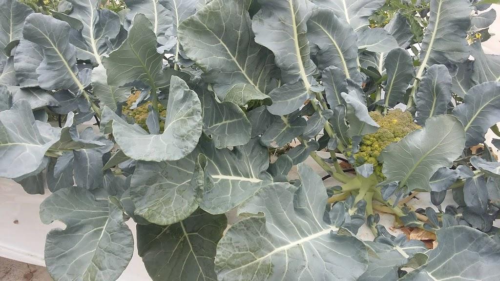 broccolo aeroponico