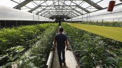 cannabis produzione in serra