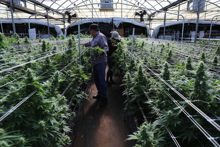 Cannabis, produzione in serra e file reticolari