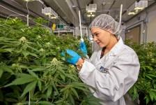 Cannabis Covid 19