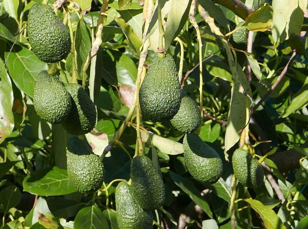 Avocado-Produzione-Sicilia